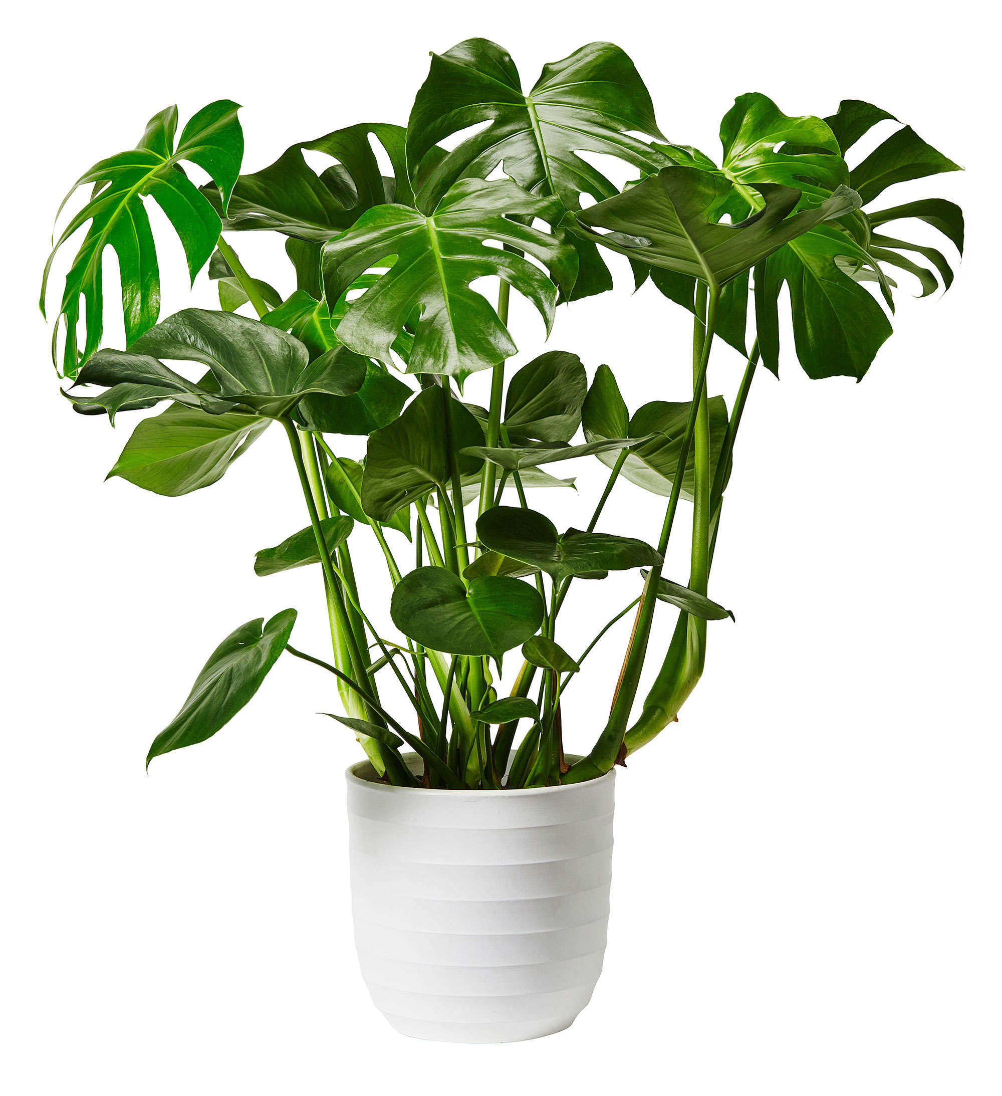 monstera-plantage-hemmafix